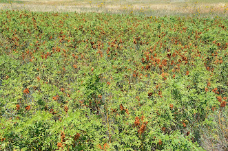 Photo: A patch of plants with ripe burs along the trail.