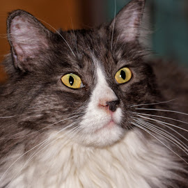 Reckless Portrait - 798 by Twin Wranglers Baker - Animals - Cats Portraits (  )