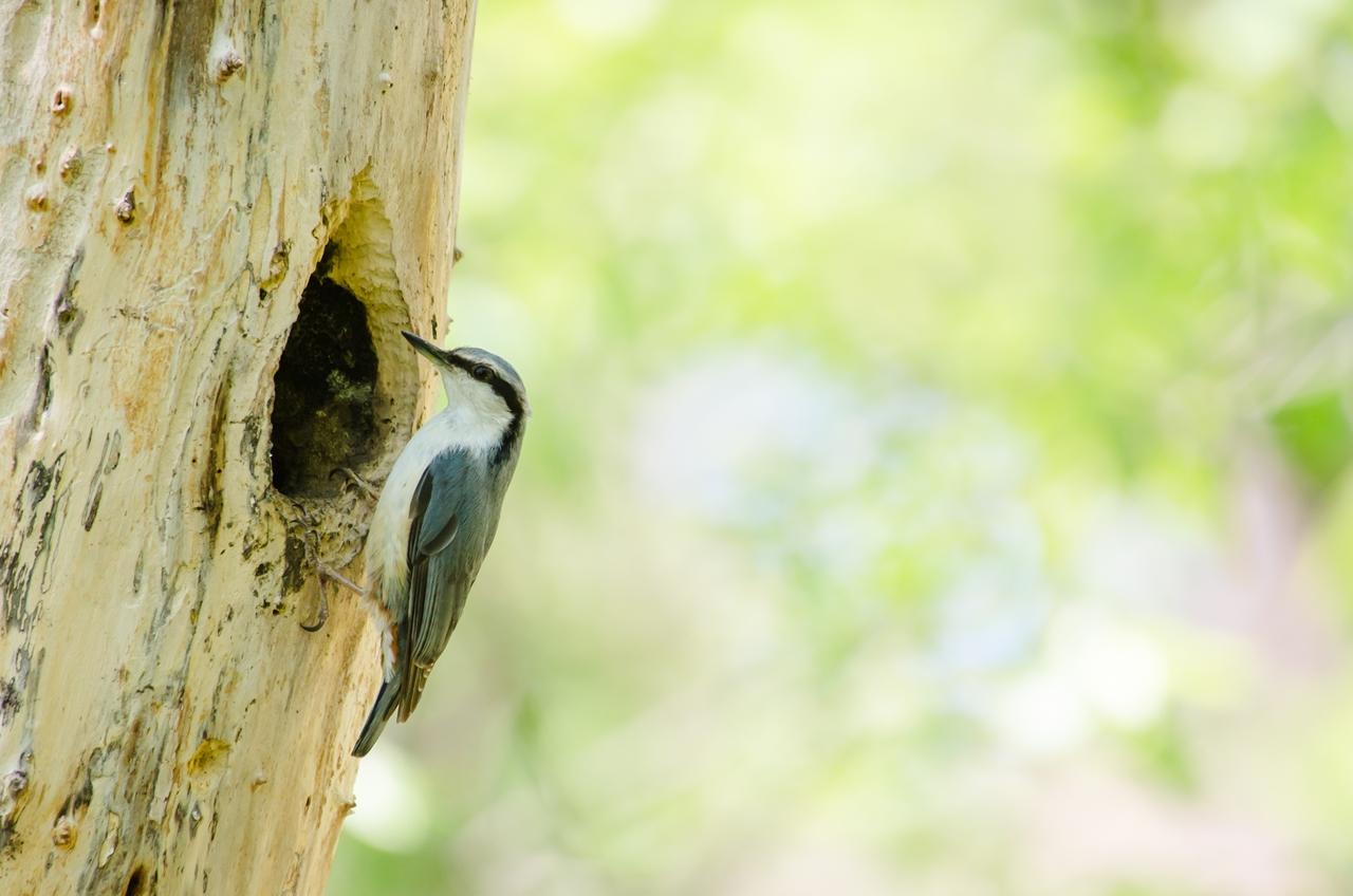 Photo: 家族との営みを守る Defend the family.  Photo of Eurasian nuthatch. 爽やかな朝の森 ご飯を何度も何度も取りに行く姿 そこには守るべき大切な家族 直向な姿は とても強く美しい  (初夏に出会ったゴジュウカラ) #birdphotography #birds #cooljapan #365cooljapanmay Nikon D7000 APO 50-500mm F4.5-6.3 DG OS HSM [ Day100, August 20th ]  ☆22日(金)から開催される三人展、 その出展候補としていて 最終的に候補から外すことにしたものから 未公開のものを御紹介しています。 ------------------------------------------ 【おしらせ】 シグマさんのFBページでも 写真展について紹介していただきました☆  今回の写真展で自分が出展させていただく 13点すべてがシグマさんの 「SIGMA APO 50-500mm F5-6.3 DG OS HSM 」 というレンズを使用して撮影しています。 500mmという焦点距離を持ちながらも比較的軽量で 機動性にすぐれた撮影を実現させてくれます。 この2年間、自分にとってのメインとなっている お気に入りのレンズです♪  「シグマさんのFBページでの投稿」 < http://goo.gl/cyNMx9 > 「SIGMA APO 50-500mm F5-6.3 DG OS HSM 」 < http://goo.gl/Na2k3 >   ☆写真展について 「Google+三人写真展 2014 / The Three Men Emerge 2014」  会期: 8月22日[金]~31日[日] Open 11:00-19:00 会場: Island Gallery 東京都中央区京橋1-5-5 B1 tel / 03-3517-2125 ※入場無料 会期中無休 詳細: http://islandgallery.jp/9987 --------------------------------------------------