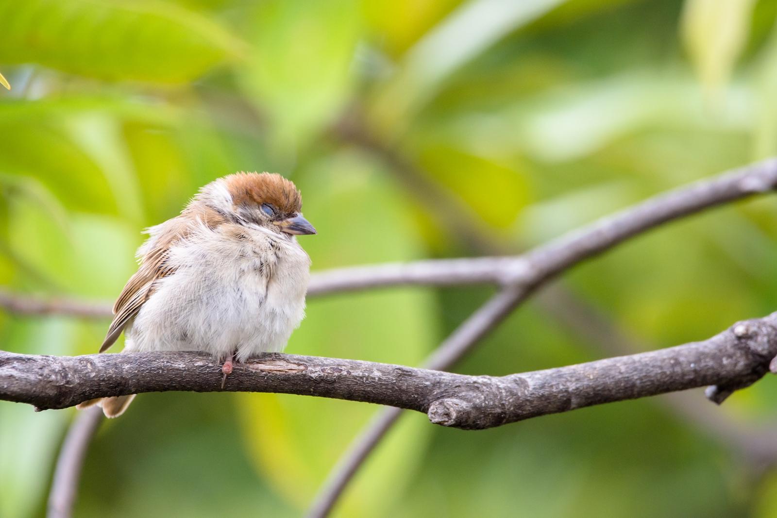 Photo: ねむねむ Sleepy.  気がつけば いつの間にやら夢の中 うつらうつら のんびり流れる昼下がり  Sparrow. (雀)  #GplusPhotoWalkJapan #Gplus4YearsAnniversary #Gplus4yearPW_Kanto #birdphotography #birds #cooljapan #kawaii #nikon #sigma  Nikon D7200 SIGMA 150-600mm F5-6.3 DG OS HSM Contemporary  ・小鳥の詩朗読 /poetry reading https://youtu.be/ZtcohW5GHek?list=PL2YtHGm0-R3qVsaqvQe9OYdJFCkI98wzF
