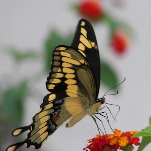 Butterflies mainly on our Florida property 146.jpg