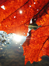 Photo: Red autumn leaf glowing by the river sunlight at Eastwood Park, Dayton, Ohio.