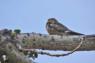 Photo: Common Poorwill