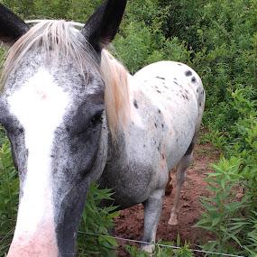 Waiting for Breakfast by Norma Moore - Animals Horses ( mare, pintaloosa, appaloosa )