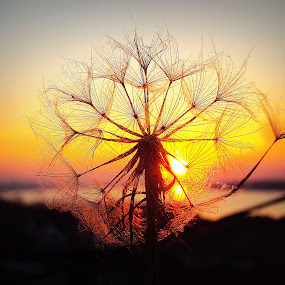 Dandelion by Svetlana Micic - Nature Up Close Other plants ( sky, nature, sunset, dnadelion, sun )
