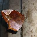 Tailed Palmfly