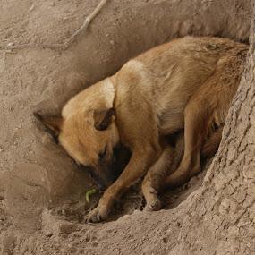 Sleepy Dog by Khawaja Hamza - Animals - Dogs Portraits ( tree, sleepy, dog )