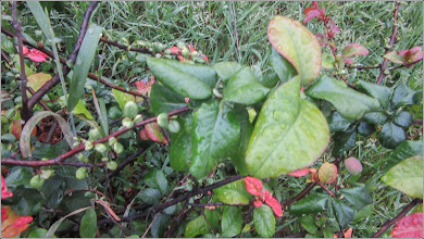 Photo: Gutui Japonez (Chaenomeles japonica) - de pe Str. Andrei Muresanu, spatiu verde - 2018.05.14