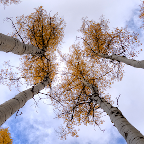 Sentinels by Darin Williams - Nature Up Close Trees & Bushes ( sky, tree, autumn, cloud, leaves, santa fe, new mexico, aspen,  )
