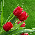 Tulips Flowers Wallpapers HD APK