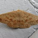 Straight-winged Bracken Moth