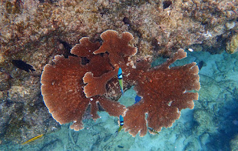 Photo: Another view of A palmata on Reef C