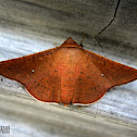 Picture Wing Moth