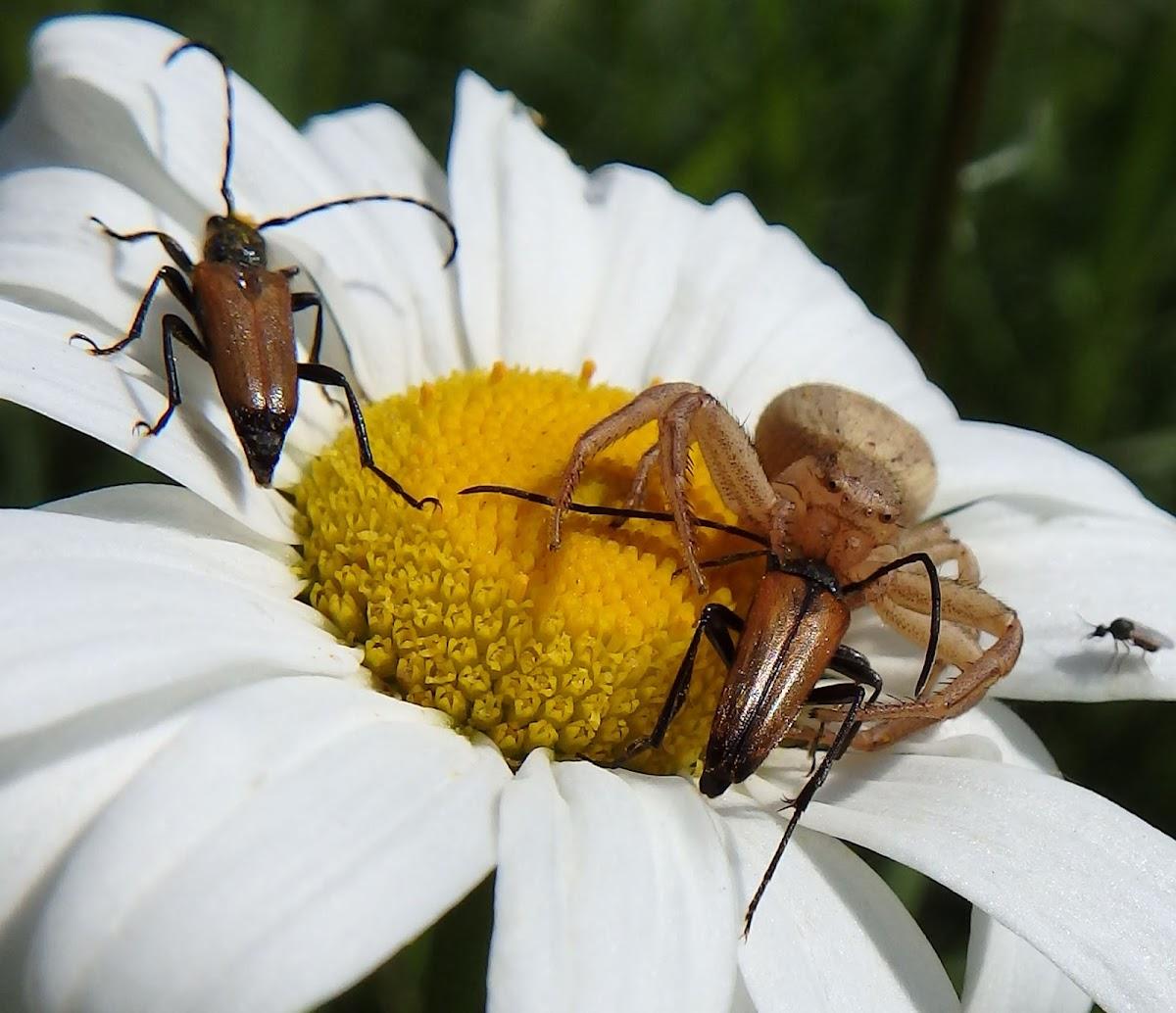 Crab Spider & Red-brown Longhorn Beetle