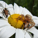 Crab Spider & Red-brown Longhorn Beetle