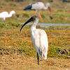 Black-headed ibis