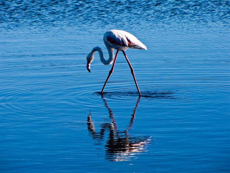 Flamingo narciso di leorol