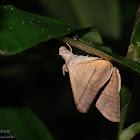 Oxyodes scrobiculata 佩夜蛾