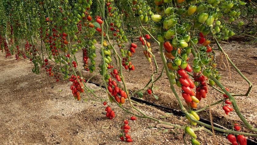 Nuevas variedades de tomates Cherry de Semillas Fitó.