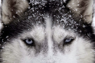 Photo: Portrait of Siberian Husky used for sled dogs inside Riisitunturi national park, Lapland, Finland