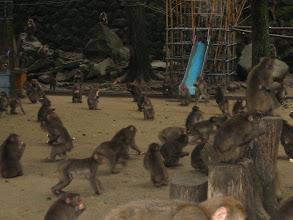 Photo: Beppu, frei lebende Affen