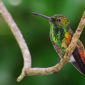 Green Hummingbird by Edison Pargass - Animals Birds ( bird, colorful, hummingbird, green, trinidad, valsayn )