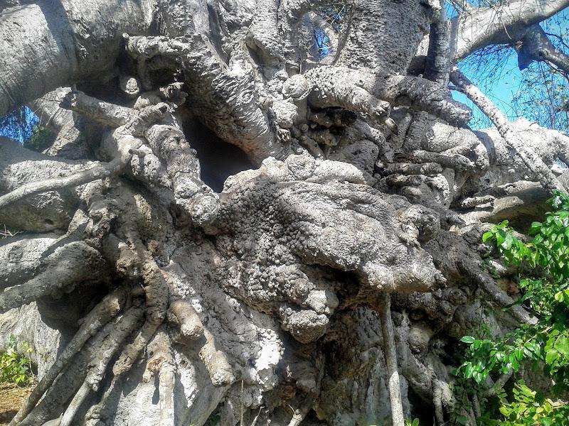Radice di Baobab di Faby72
