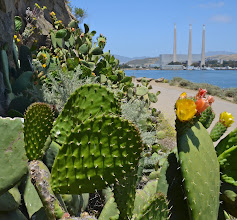 Photo: 202. These blooming cacti, along the perimeter of Morro Rock caught my eye. By the way, that unsightly power plant in the distance was built in the 1950s, before environmental aesthetics became more important. It looks sort of jarring in such an otherwise scenic place.
