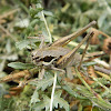 Greek marbled bush-cricket ♀