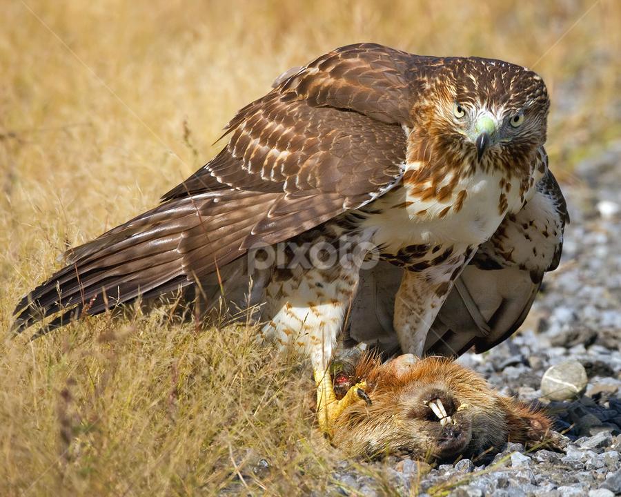 Red Tailed Hawk by Herb Houghton - Animals Birds ( wild, bird of prey, feeding, red tailed hawk, raptor, herbhoughton.com, natural, hawk )