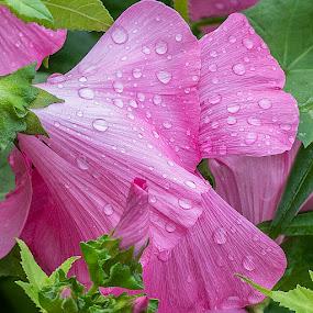 Vulcan flowers by Michael Velardo - Flowers Flower Gardens ( pink flowers, flowers, wet flower, nature, vulcan,  )