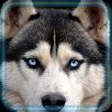 Husky Dogs Live Wallpaper icon