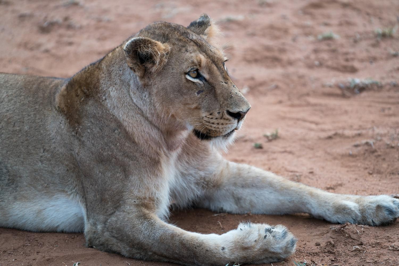Lions in Tanzania unter den Top 10 Safari Parks in Afrika