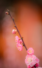"""Photo: This photo appeared in an article on my blog on Mar 13, 2013. この写真は3月13日ブログの記事に載りました。 """"Plum Blossoms in Full Bloom at Kyoto's Kitano Tenmangu Shrine"""" http://regex.info/blog/2013-03-13/2225"""