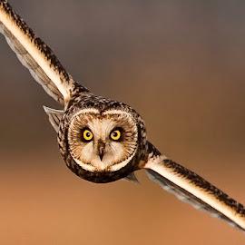 Mesmer-Eyes! by Maria French - Animals Birds ( uk, short eared owl,  )