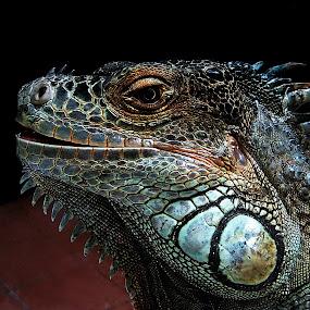 John  by Zoran Nikolic - Animals Reptiles (  )
