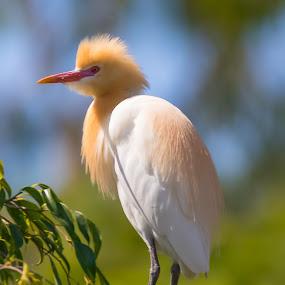 by Steve Hunt - Animals Birds ( queensland, australia, cattle egret,  )