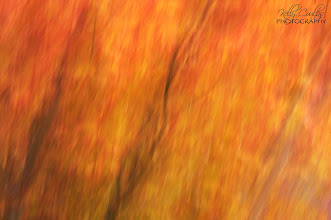 Photo: Abstract of Japanese Full Moon Maple in full fall color.