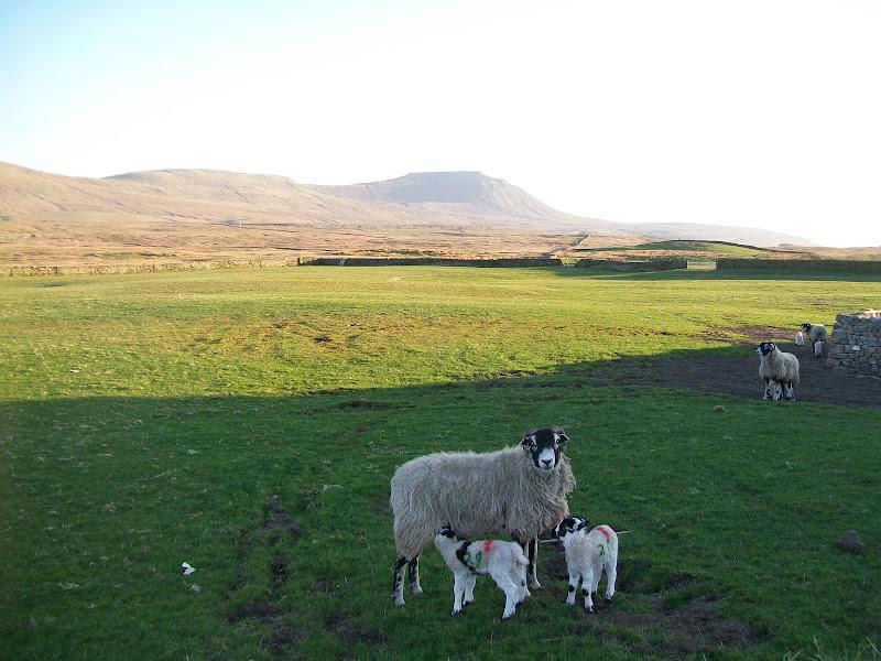 Photo: Lambs and Ingleborough.