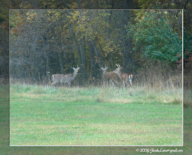 Photo: Watching through the trailer window, two young bucks were grazing along and then suddenly noticed another young buck approaching from across the open area.  Here, the three 'youngsters' meet up & wonder off into the woods.