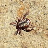 American dog tick (male)