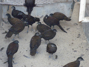 Photo: all peacock pheasant no matter of the species look a like and can only be distinguished by an expert or by the breeder. in this photograph there are 3 species to mention ; palawan, bronzetailed and malay