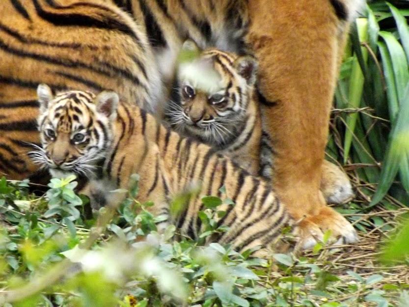 Bébés tigres de Sumatra (7 semaines), Doué la Fontaine - Tous droits réservés