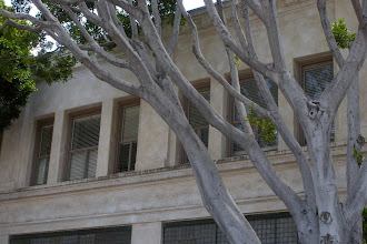 Photo: The very thin canopy of a Ficus tree, and black traffic dust on an office buidling in Santa Barbara, California, July 15, 2012.