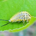 Wild olive tortoise beetle (larvae)