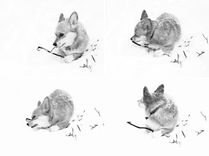 Photo: Corgi contact sheet Fun in the woods on a snowy day. Who's in a hurry?  #365Project curated by +Simon Kitcher