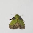 Cheerful Parasa moth