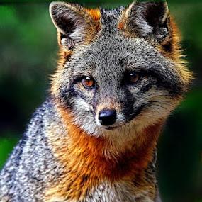 Wild FOX by Arkendu Pal - Animals Other