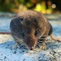Montane shrew