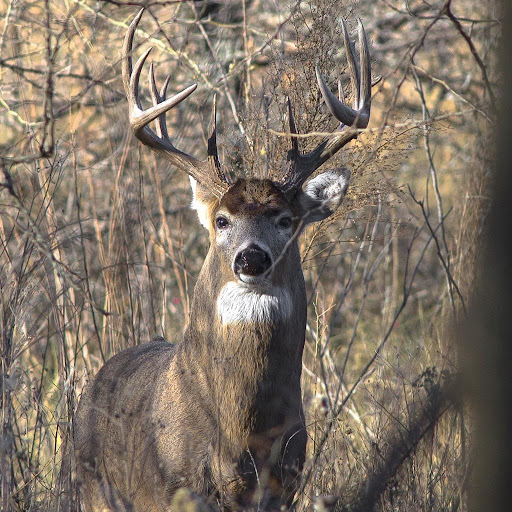 White Tail Deer Wallpapers